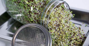Germoir-la récolte de germes bio