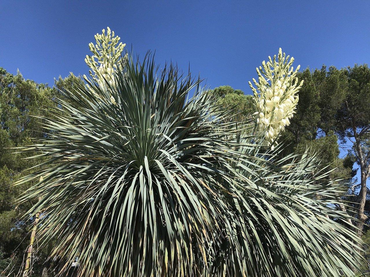 Cultiver des Yuccas rostrata